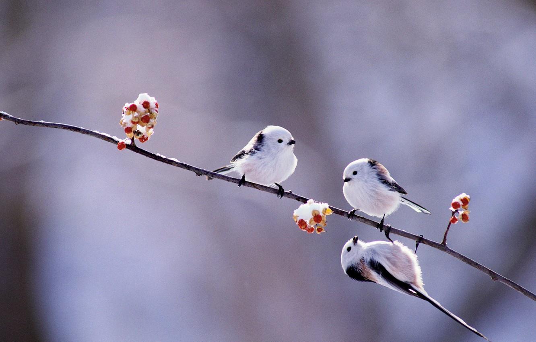 Photo wallpaper winter, birds, berries, branch, Japan, Hokkaido, long-tailed tit