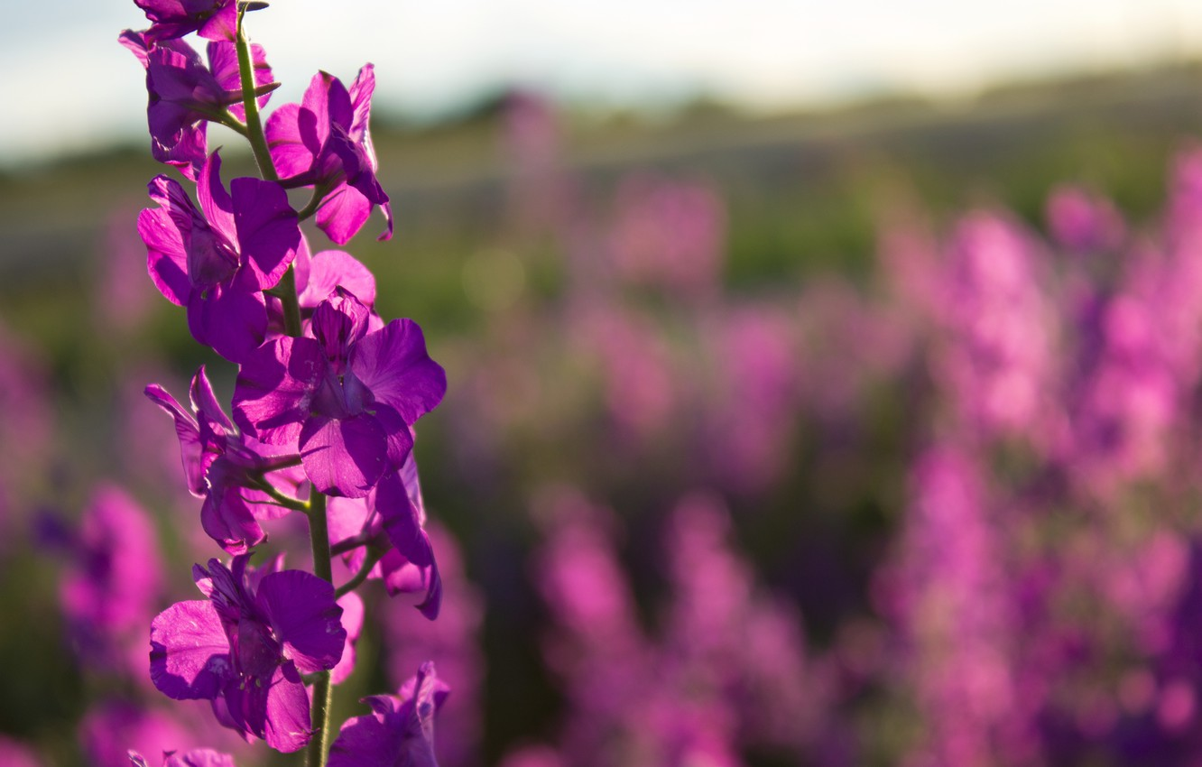 Photo wallpaper Field, Bokeh, Field, Delphinium, Delphinium, Larkspur