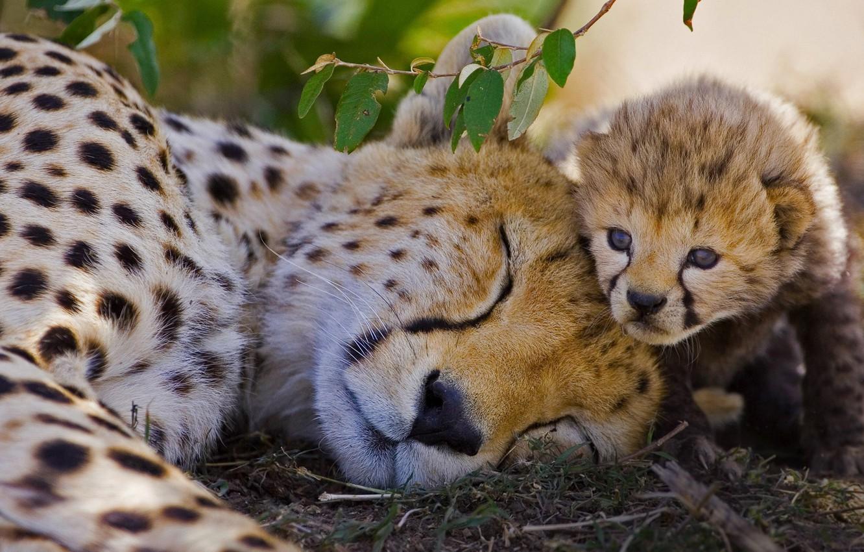 Photo wallpaper cat, Cheetah, Africa, Kenya, reserve, Masai Mara