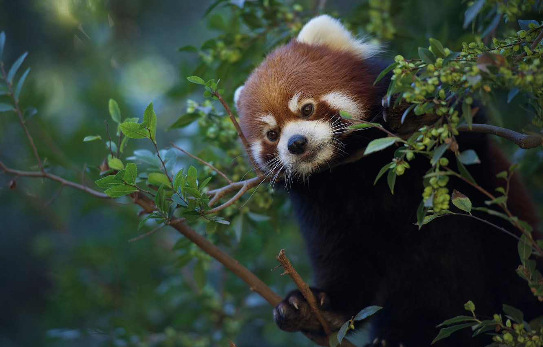 Photo wallpaper branches, Red Panda, Red Panda