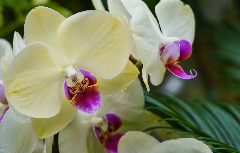 Photo wallpaper flowers, orchids, flowering, flowers, Phalaenopsis, orchids, flowering