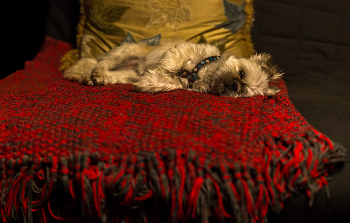Photo wallpaper the dark background, room, sofa, dog, lies, pillow, plaid, dog, laziness, Yorkshire Terrier, York-Terrier, prostration, …