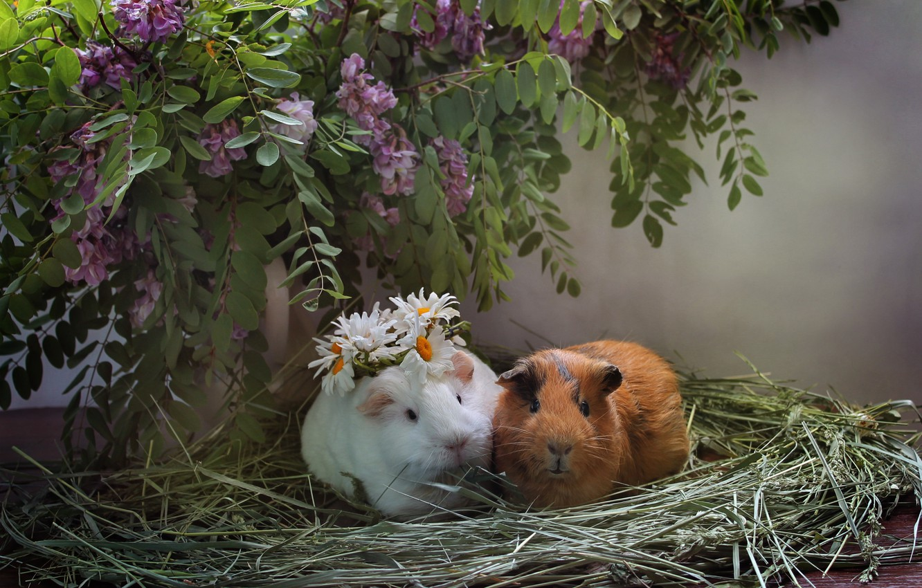 Photo wallpaper animals, summer, chamomile, hay, composition, June, Guinea pigs