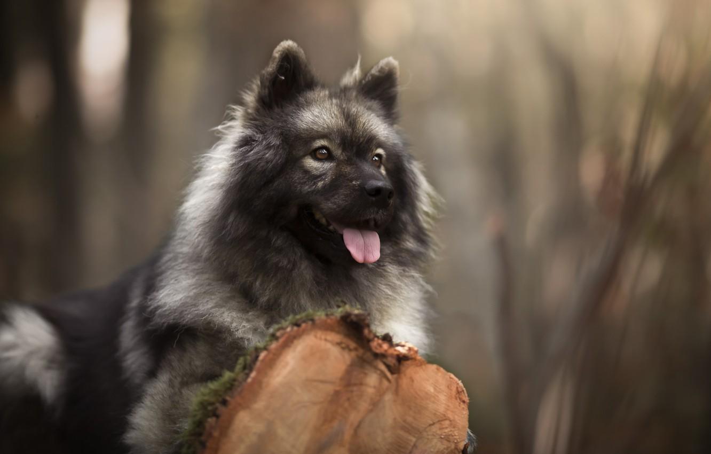 Photo wallpaper language, look, face, portrait, dog, log, bokeh, The eurasier