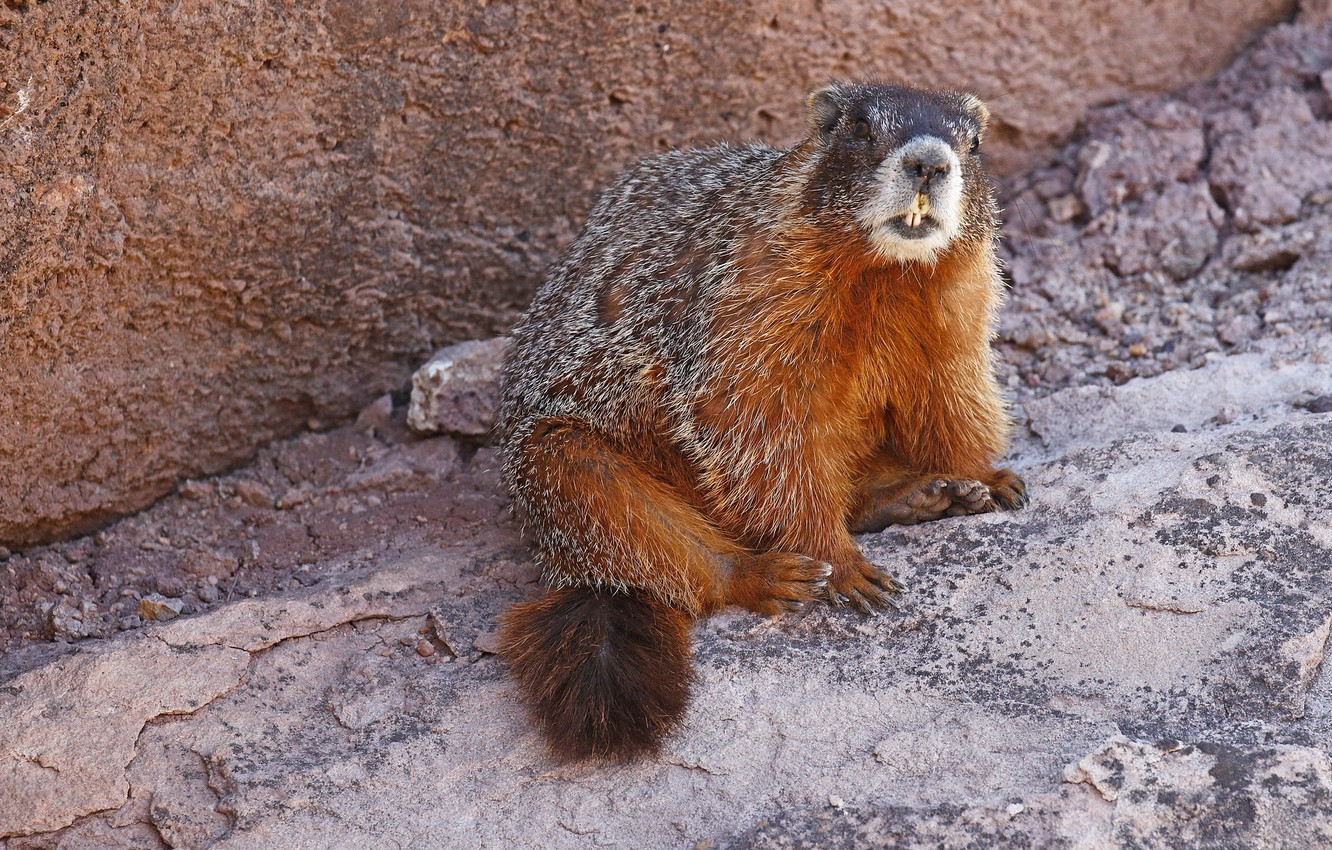 Photo wallpaper nature, teeth, rodent, yellow-bellied marmot