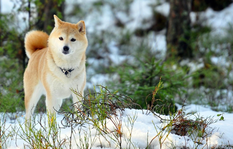 Photo wallpaper Akita inu, my beauty, my dog, love her