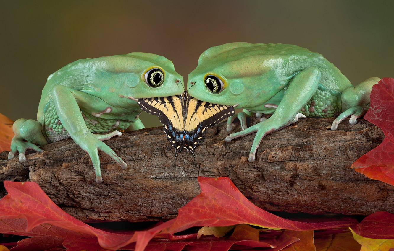 Photo wallpaper Butterfly, Frogs, Pair, Food, Amphibians