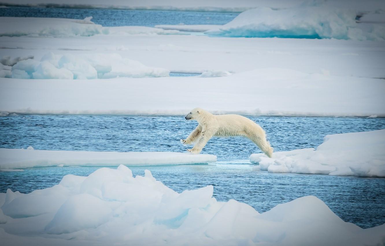 Photo wallpaper jump, predator, ice, polar bear, polar