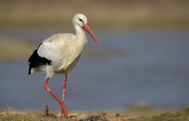 Photo wallpaper nature, bird, stork