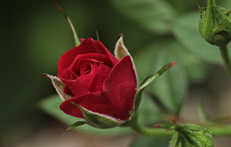 Photo wallpaper flower, macro, rose, buds