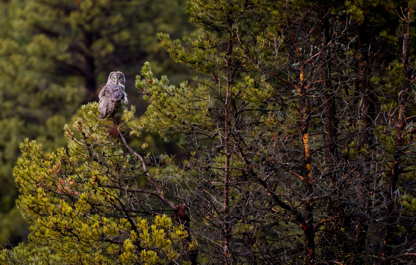 Wallpaper Forest Trees Owl Wildlife Great Grey Owl
