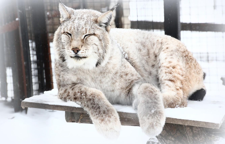 Photo wallpaper winter, snow, animal, lynx, zoo
