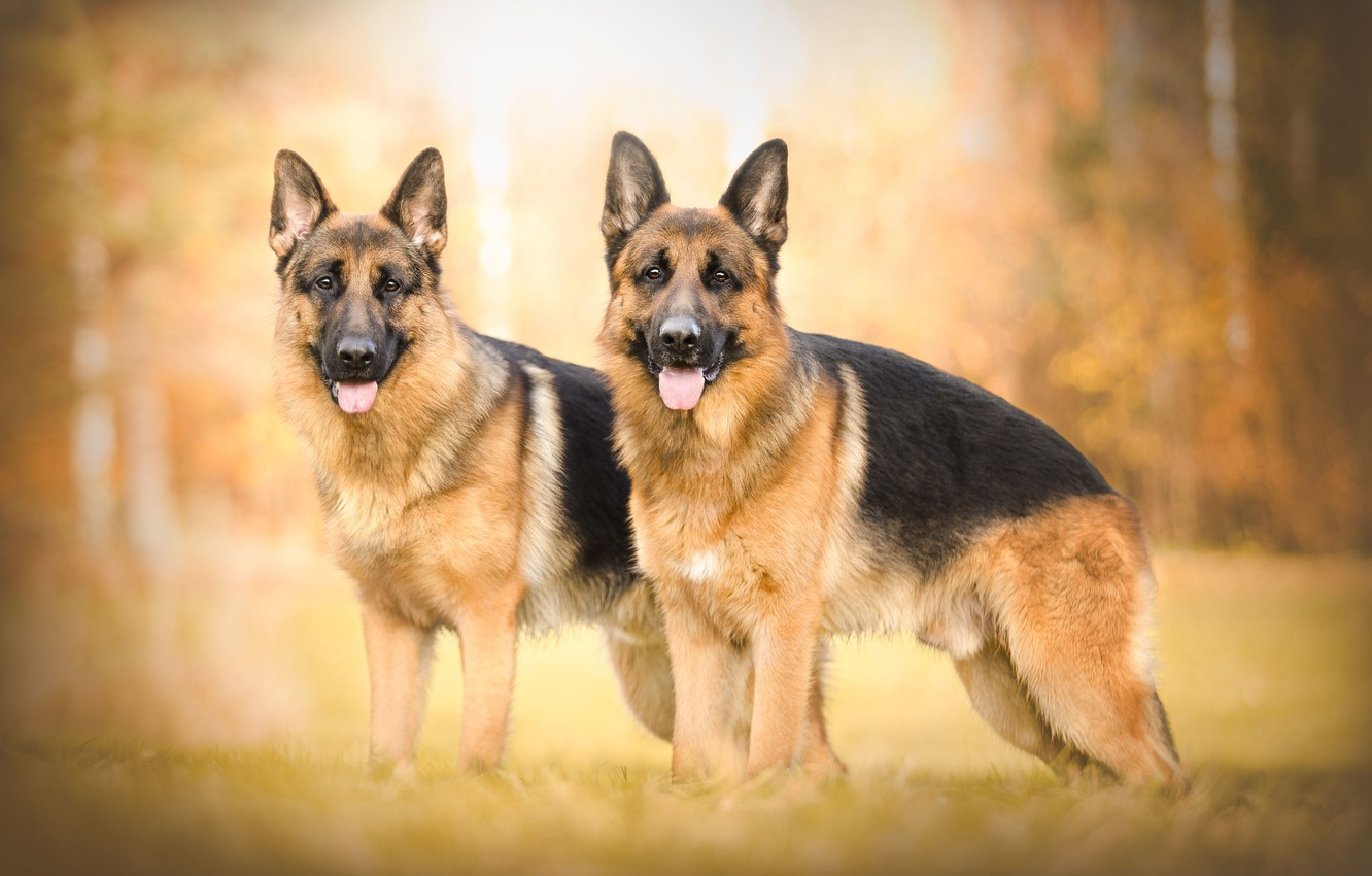 Photo wallpaper autumn, bokeh, two dogs, shepherd