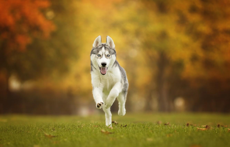 Photo wallpaper autumn, grass, dog, walk, bokeh, Husky