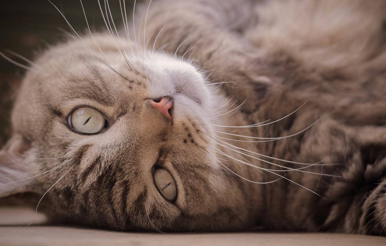 Photo wallpaper cat, cat, look, muzzle, Kote, cat