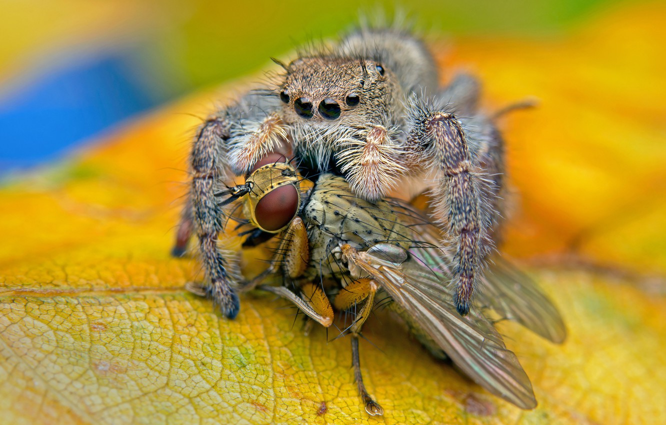 Photo wallpaper macro, yellow, fly, background, spider, predator, leaf, insect, jumper, meal, the Hoppy