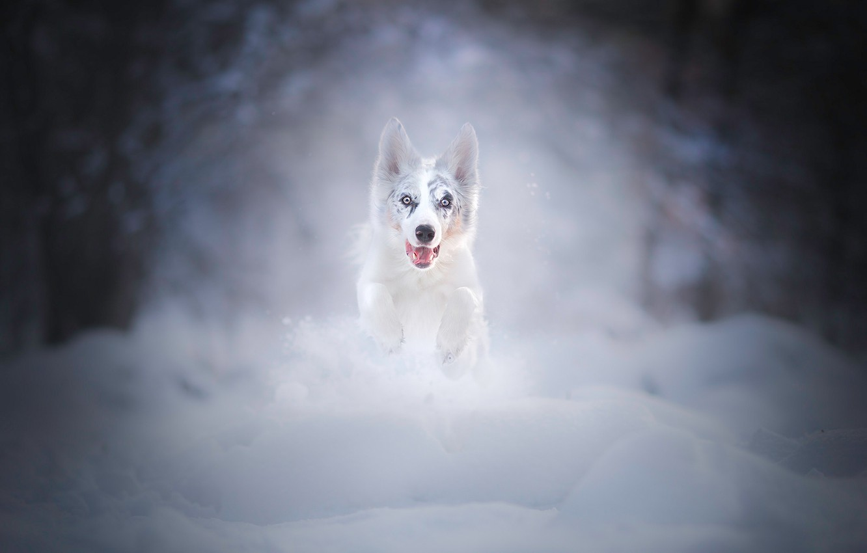 Photo wallpaper winter, snow, dog, running, the snow, puppy, walk, bokeh, Australian shepherd, Aussie