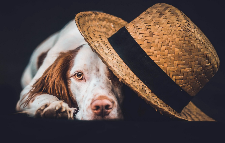 Photo wallpaper look, dog, hat