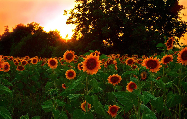 Photo wallpaper Sunset, Nature, Field, Sunflowers, Nature, Sunset, Field, Sunflowers