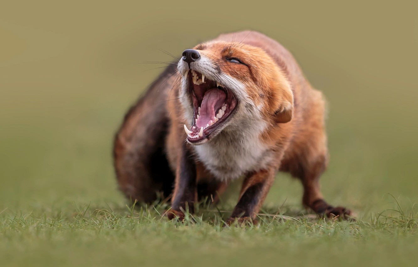Photo wallpaper grass, nature, animal, mouth, Fox, Fox