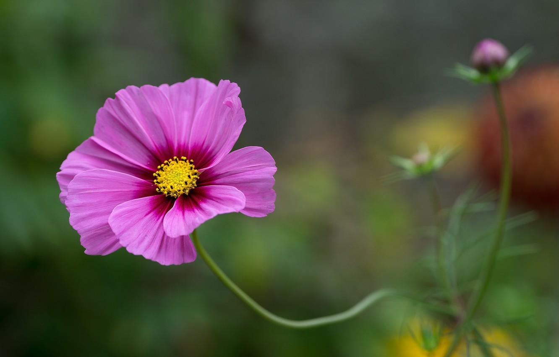 Photo wallpaper flower, macro, kosmeya
