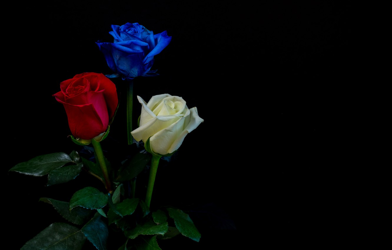 Wallpaper Leaves Roses Three White Black Background Red Buds Blue Images For Desktop Section Cvety Download