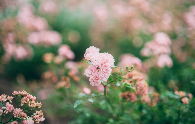Photo wallpaper flowers, roses, pink, bokeh