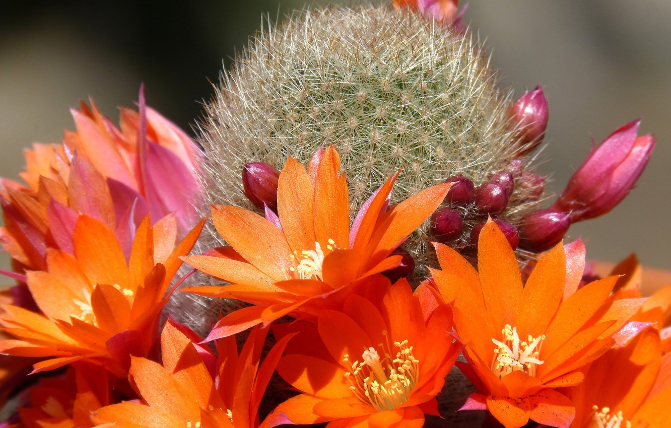 Photo wallpaper cactus, barb, orange flowers, light and shadow, picture macro, pink buds