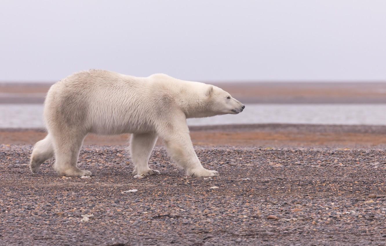 Photo wallpaper Alaska, Polar bear, Polar bear
