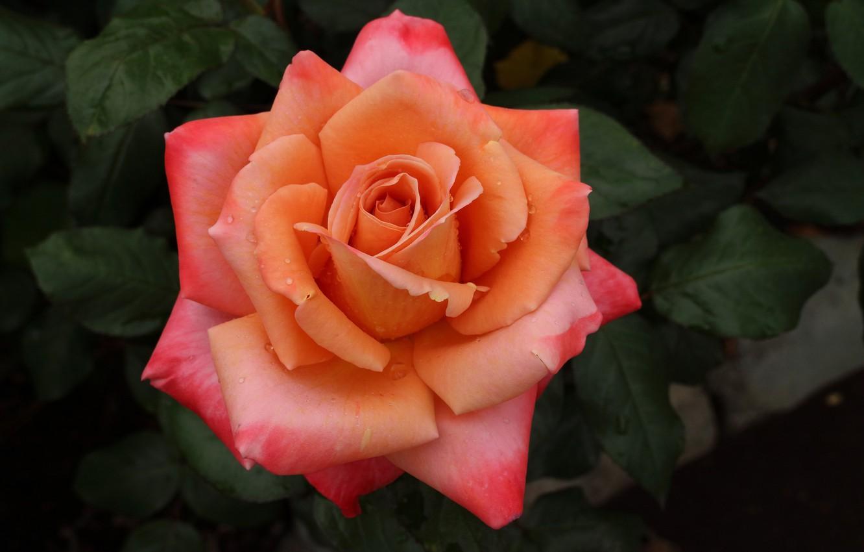 Photo wallpaper macro, rose, petals, Bud, bright