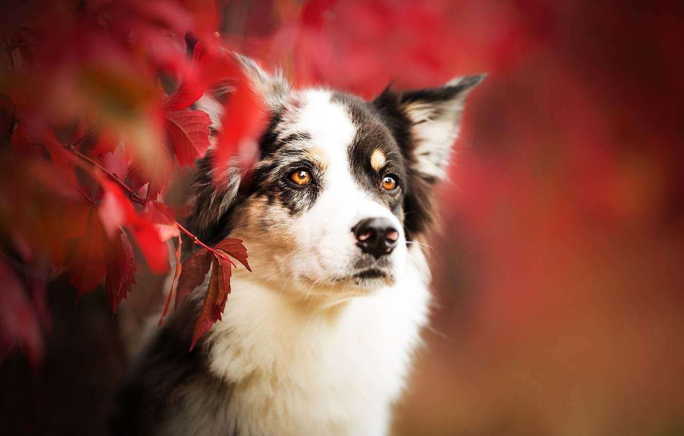 Photo wallpaper autumn, look, face, leaves, branches, portrait, dog, bokeh, The border collie