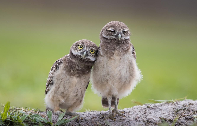 Photo wallpaper owl, burrowing owl, cave owl, rabbit owl, two birds