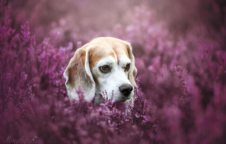 Photo wallpaper face, dog, bokeh, Heather, Beagle