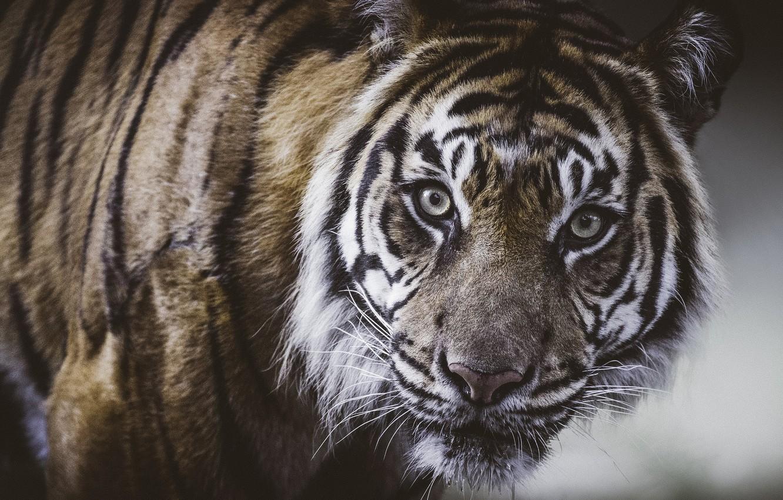 Photo wallpaper look, face, tiger, portrait, wild cat