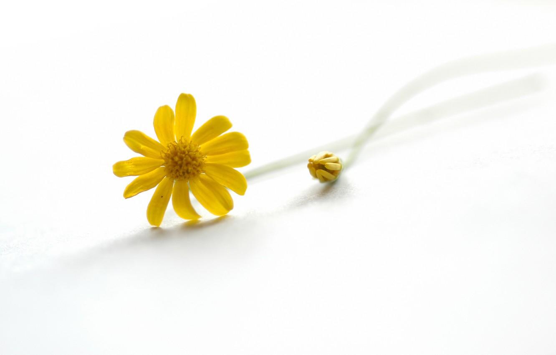 Photo wallpaper nature, petals, Daisy, stem