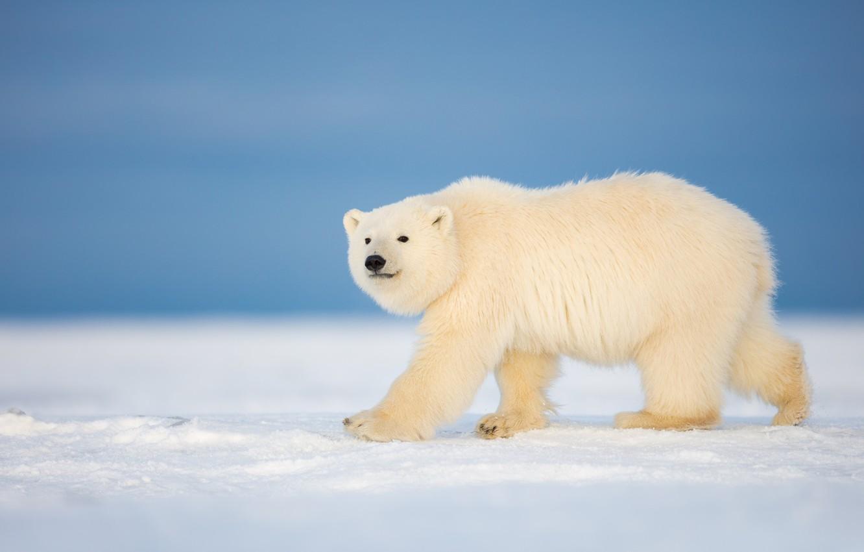 Wallpaper Winter Snow Bear Polar Bear Images For Desktop Section