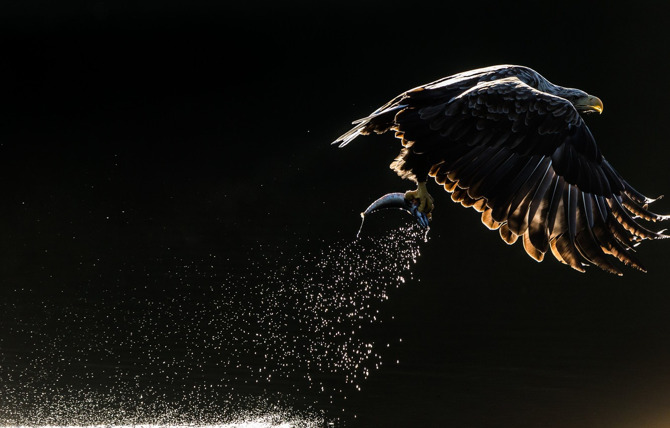 Wallpaper Squirt Bird Fish Eagle Orlan The Dark