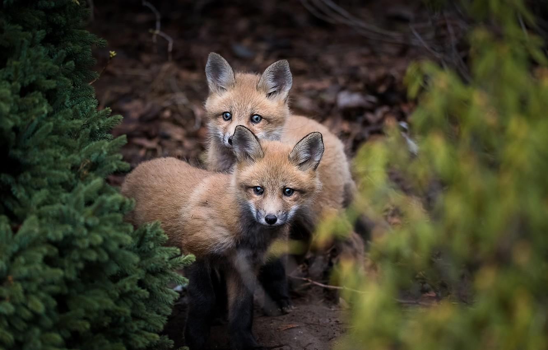 Photo wallpaper forest, nature, Fox, cubs