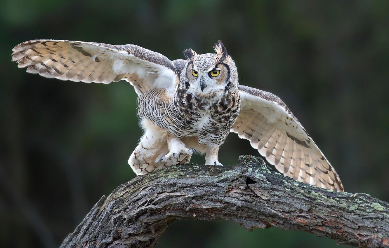 Photo wallpaper owl, bird, wings, snag, Virgin Filin