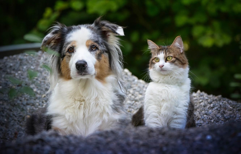Photo wallpaper cat, dog, a couple, friends, Australian shepherd, portrait