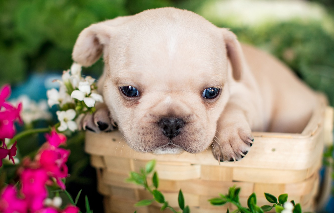 Photo wallpaper flowers, basket, baby, puppy, face, French bulldog