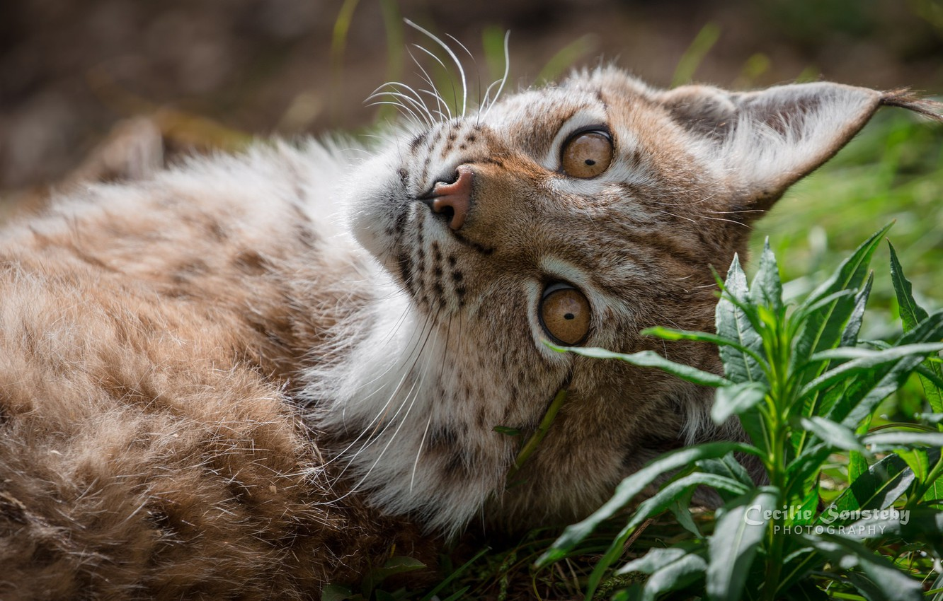 Photo wallpaper grass, look, stay, color, lynx, ears