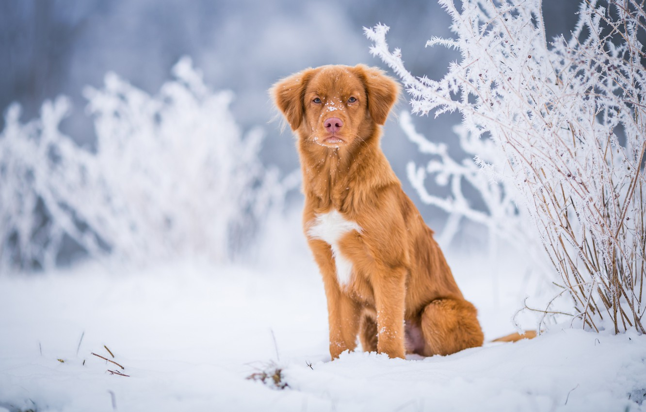 Photo wallpaper winter, frost, look, snow, nature, background, blue, dog, light, red, the snow, puppy, serious, sitting, …