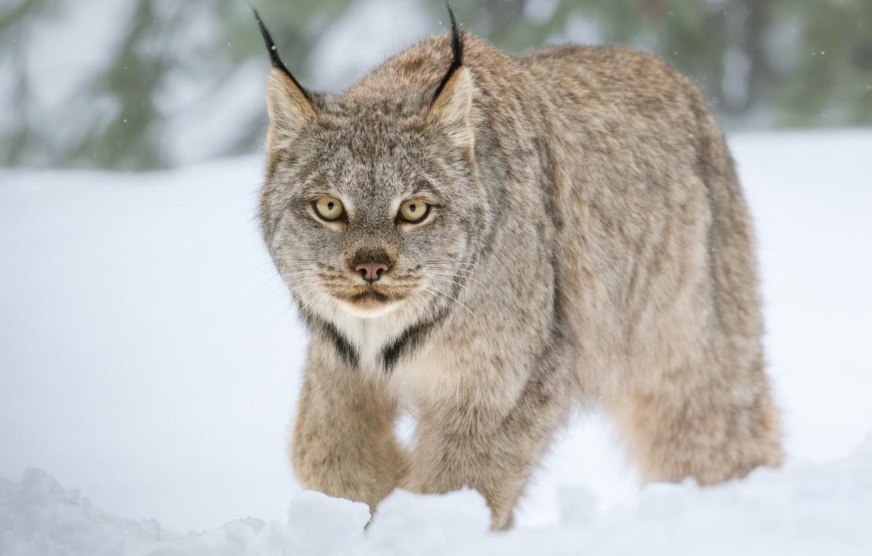Photo wallpaper winter, look, snow, wild cat, Lynx