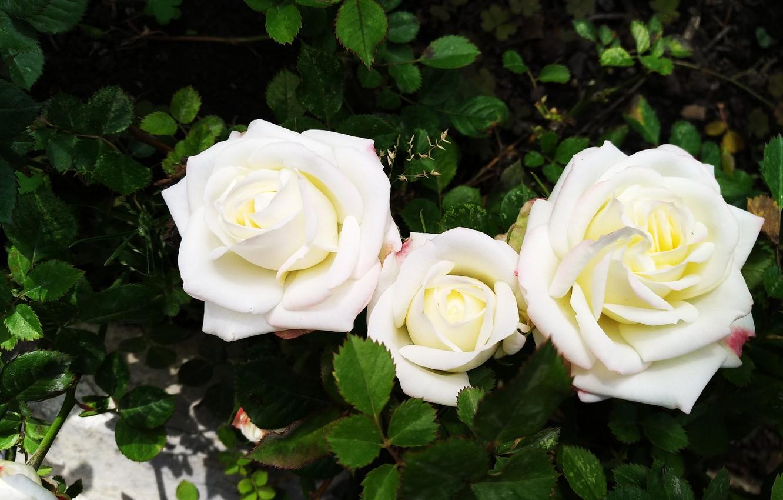 Photo wallpaper Roses, Roses, White roses, White roses