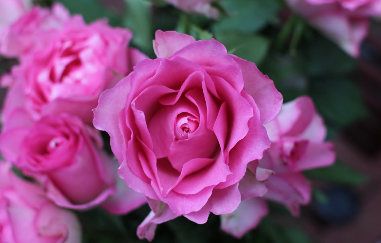 Photo wallpaper Bush, roses, pink