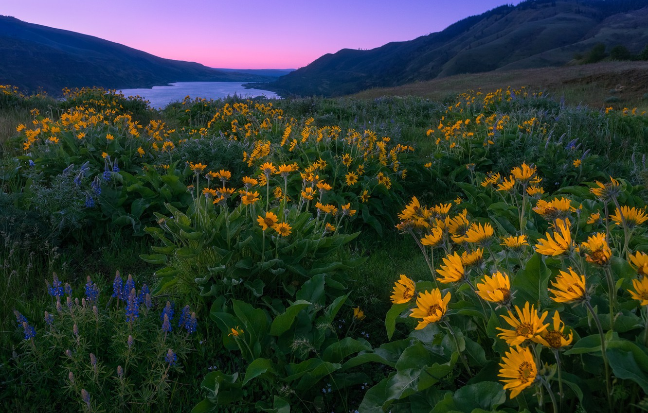 Photo wallpaper flowers, mountains, river, dawn, morning, meadow, Oregon, Oregon, Columbia River, lupins, Columbia River Gorge, the …
