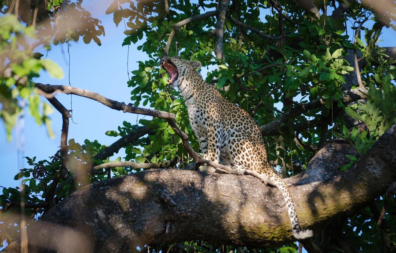 Photo wallpaper predator, leopard, sitting, wild cat, yawns, on the tree