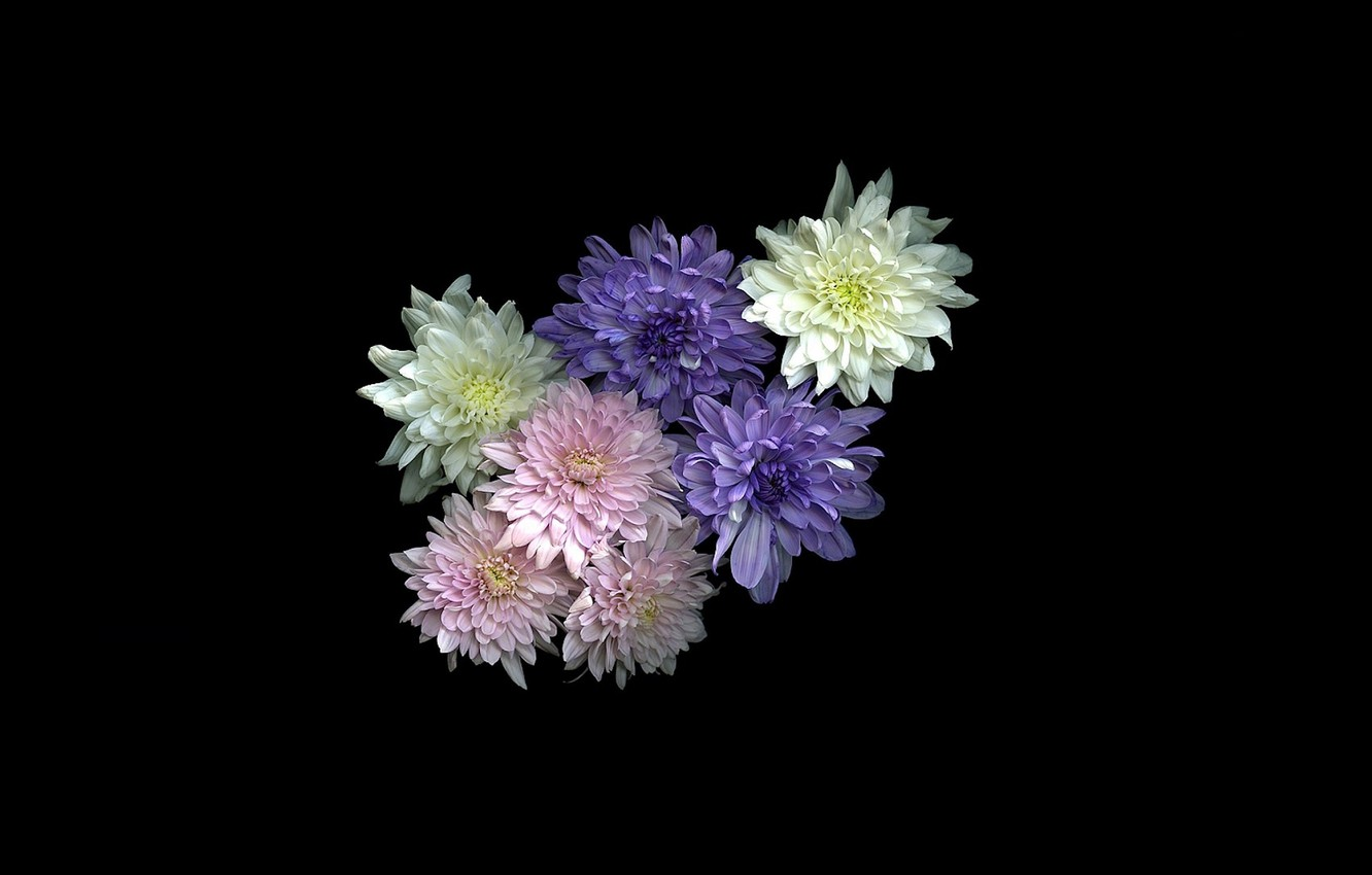 Photo wallpaper flowers, black background, chrysanthemum