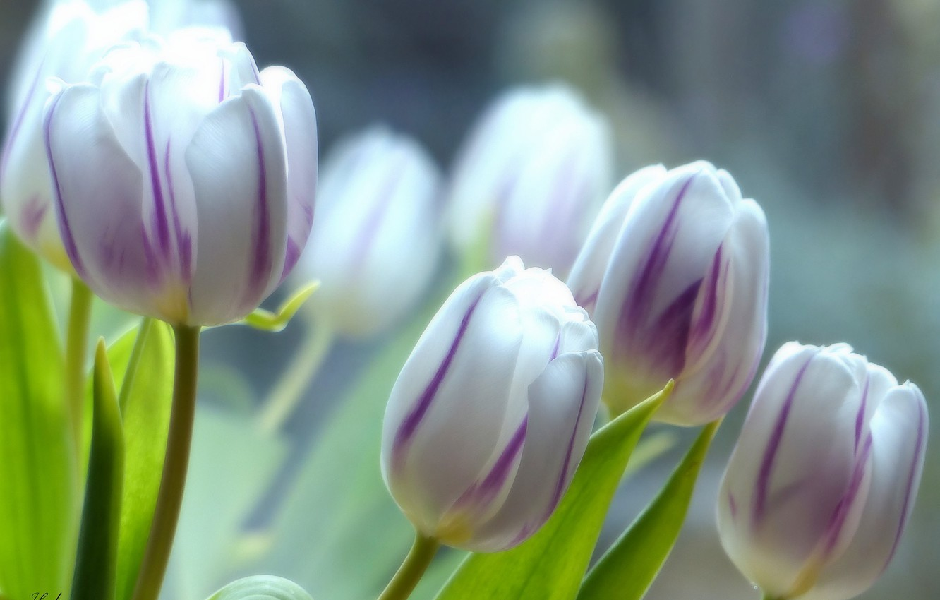 Photo wallpaper macro, tulips, buds